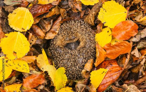 Fotografia Hedgehog (Erinaceus Europaeus) native, wild, European hedgehog in hibernation with colourful Autumn or Fall leaves