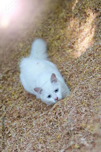 Fotografie, Obraz  Beautiful white cat playing on sawdust.