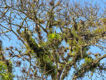 Branches Of Trees Covered With Tilandsiemi And Bromelies Of Guatemala.