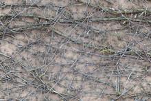 Climbing Plants With Dry Berri...