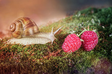 Snail Crawling On The Moss And...