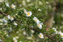 Cherokee Rose Flower, Rosa Lae...