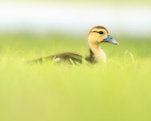 Muscovy Duckling In Grass