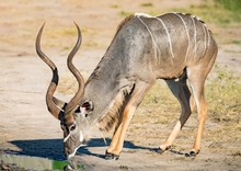 Greater Kudu Male At The River Chobe In Botswana