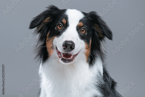Close up portrait of cute young Australian Shepherd dog with open mouth on gray background Canvas Print