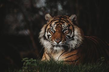 Tygrys sumatrzański