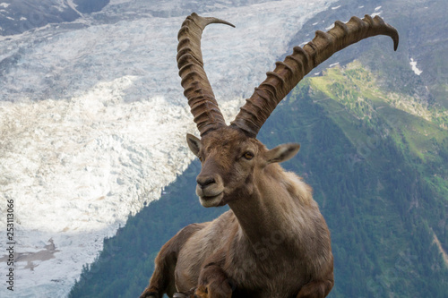 Fotografie, Tablou Portrait of an alpine ibex (capra ibex).