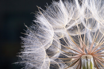Fototapeta Dmuchawce macro photo of dandelion seeds with water drops
