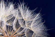 Macro Photo Of Dandelion Seeds With Water Drops