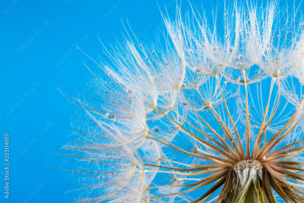 Fototapety, obrazy:  macro photo of dandelion seeds with water drops