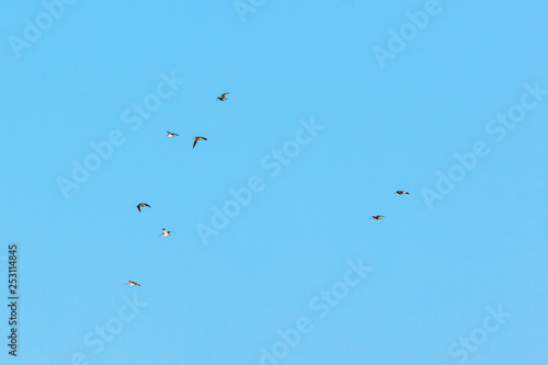 Valokuva  Woodcocks flock flying in the sky