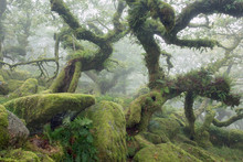 Wistmans Wood Dartmoor National Park Devon Uk