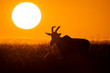 An african topi in silhouette grazing in the plains with a beautiful sunrise in the background in Masai mara National Reserve during a wildlife safari