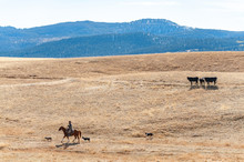 Cowboy Rides Horse Across Montana Prairie With Dogs And Cows