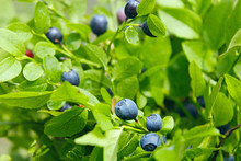 Berries Of Bilberry In Forest....