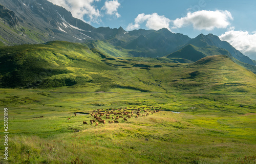 Photo sur Toile Amsterdam Cow herd in the Alps