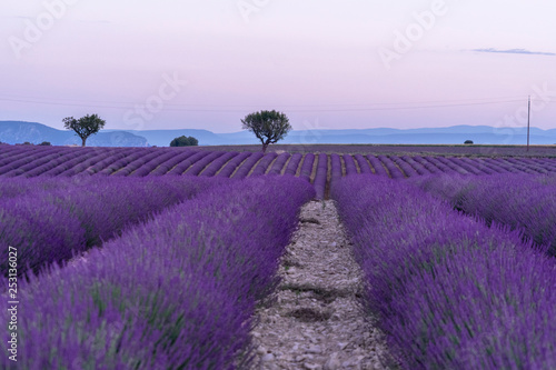 Foto op Canvas Snoeien Lavender fields with a tree in spring time in provence france