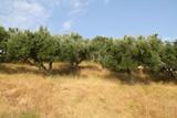 Dense olive grove against the blue summer sky