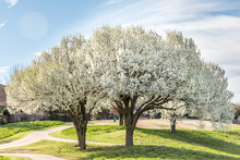 Blooming Bradford Pear Trees I...