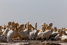 Pelican Colony In Breeding Sea...