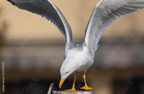 Photo Piumaggio e apertura alare di un gabbiano reale bianco