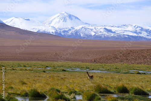 Foto op Canvas Paarden A vicuna in the landscape of northern Chile with the Andes Mountains and volcanoes with snow on the summit, Atacama Desert, Chile