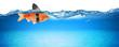 Leinwandbild Motiv goldfish with fake shark fin creative business idea innovation concept isolated