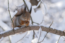 Squirrel In The Winter Forest ...