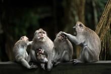 Monkeys Family In Ubud Forest.
