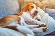 Beagle dog tired sleeping on couch