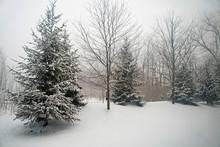 Pine Trees In Ice Fog