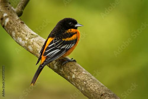 Baltimore Oriole - Icterus galbula  small icterid blackbird common in eastern No Canvas Print