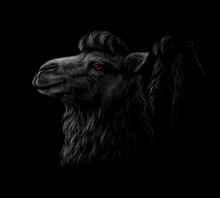 Portrait Of A Camel Head On A Black Background.