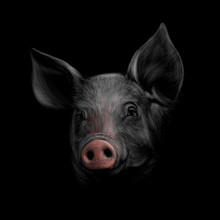 Portrait Of A Pig Head On A Bl...