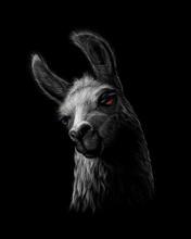 Portrait Of A Head Of A Llama On A Black Background