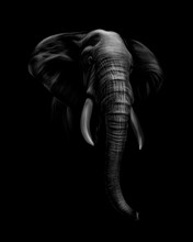 Portrait Of An Elephant Head On A Black Background