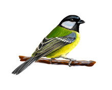 Portrait Of A Tit Bird Sitting On A Branch On White Background, Hand Drawn Sketch