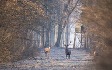 Red Deers In Forest In Winter ...