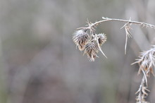 Carduus Acanthoides Dry Seeds, Spiny Plumeless Thistle, Welted Thistle, Or Plumeless Thistle, Native To Europe And Asia.