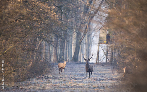 Papiers peints Chasse Red deers in forest in winter time
