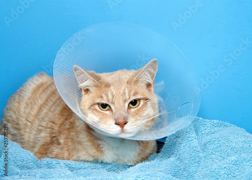 Canvas Print orange and white tabby cat wearing an elizabethian collar to prevent self injury after surgery