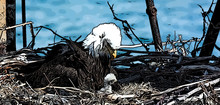 Bald Eagle Mother Stares Down ...