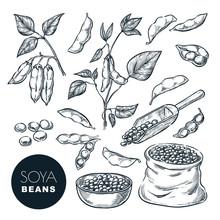 Soybean Sketch Vector Illustra...