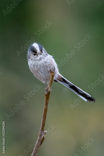 Foto  Long-tailed tit (Aegithalos caudatus)