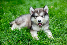 Cute Alaskan Malamute Puppy In...