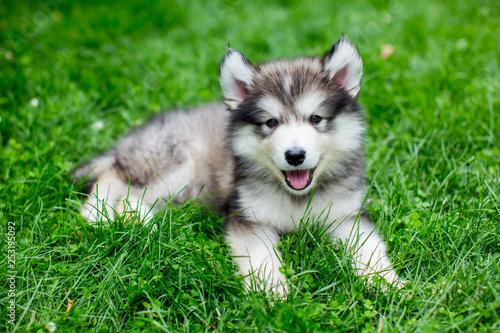 Cute alaskan malamute puppy in the grass Canvas Print