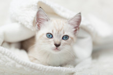 White Siamese Tabby Kitten Lay...