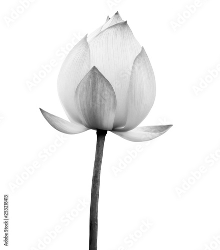 fototapeta na lodówkę Lotus flower black and white color isolated on white background. File contains with clipping path.