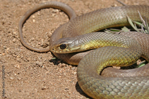 Photo  Western Yellow-bellied Racer Snake (Coluber constrictor mormon)