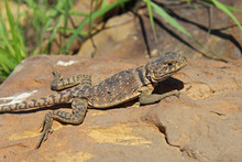 Eastern Collared Lizard - Fema...